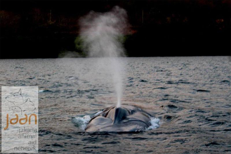 Dagenlange reddingsoperatie brengt vier ten dode opgeschreven blauwe vinvissen weer terug naar de oceaan