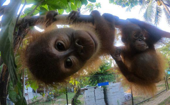 Smokkel Orang oetan-baby's onderschept